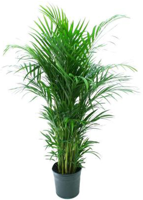 Home Depot, Areca Palm