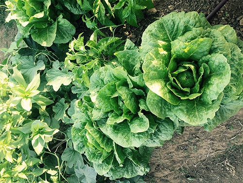 Lettuces from the Countess' gardens.