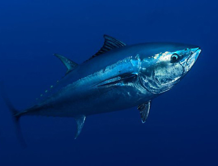 Tuna, Mercury, and Coal