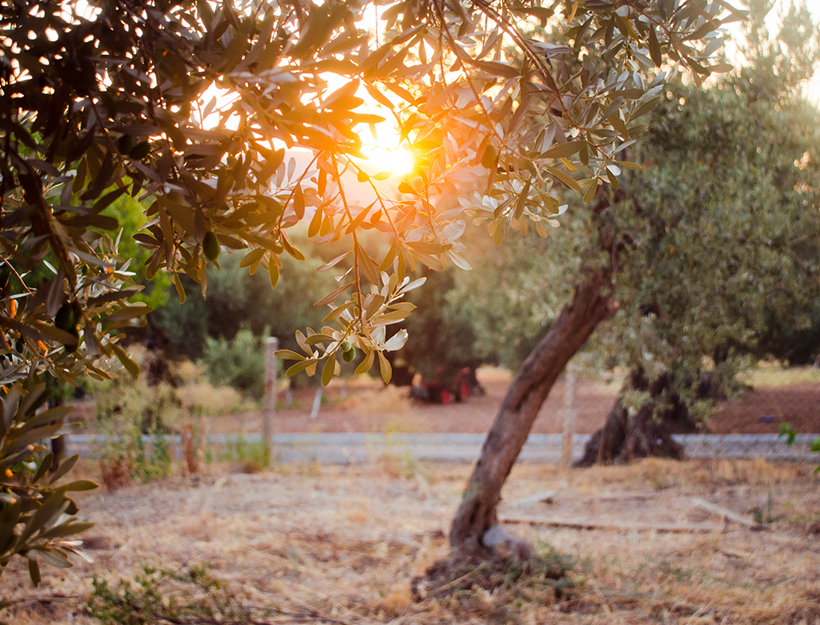 olive trees in an olive grove in sunlight, foça, aegean, turkey