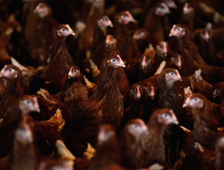 Tightened Rules for Antibiotics for Food Livestock Go into Effect