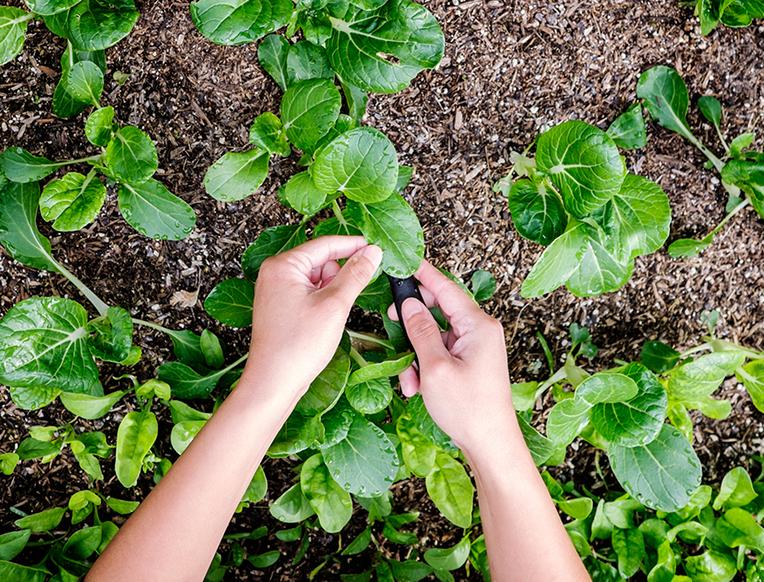 Harvesting vegetables planted on raised bed
