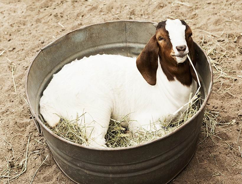 Baby goat laying in a bucket