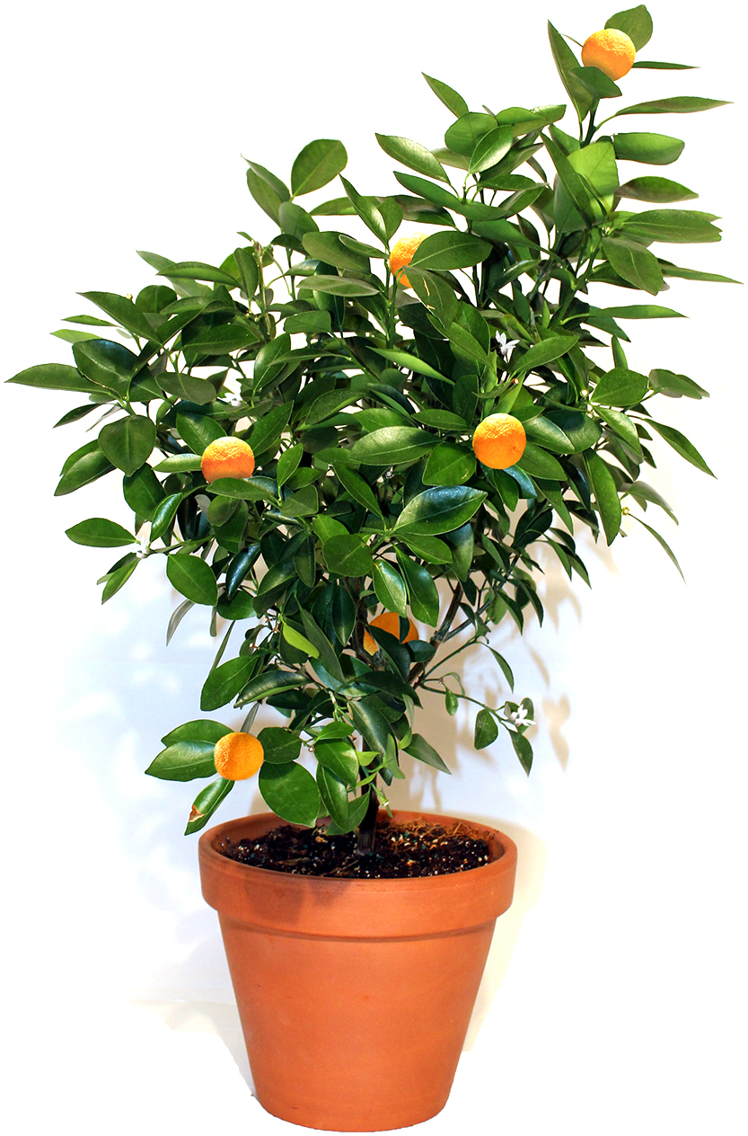 VIA CITRUS Calamondin Tree