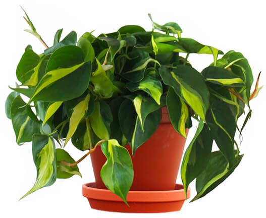 Bloomscape Philodendron