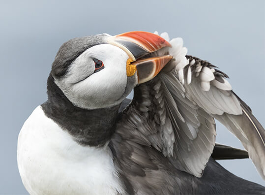 Audubon Adopt An Atlantic Puffin