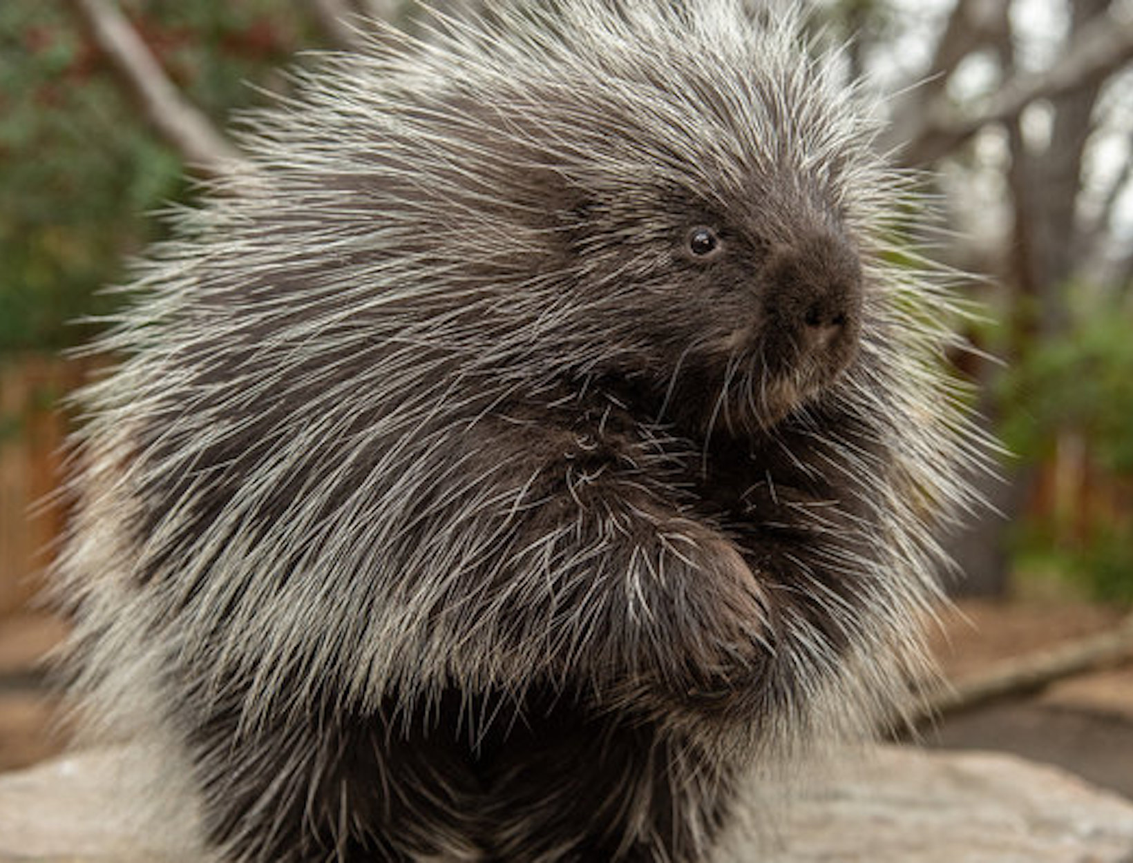 Porcupine Barbs for Better Wound Healing