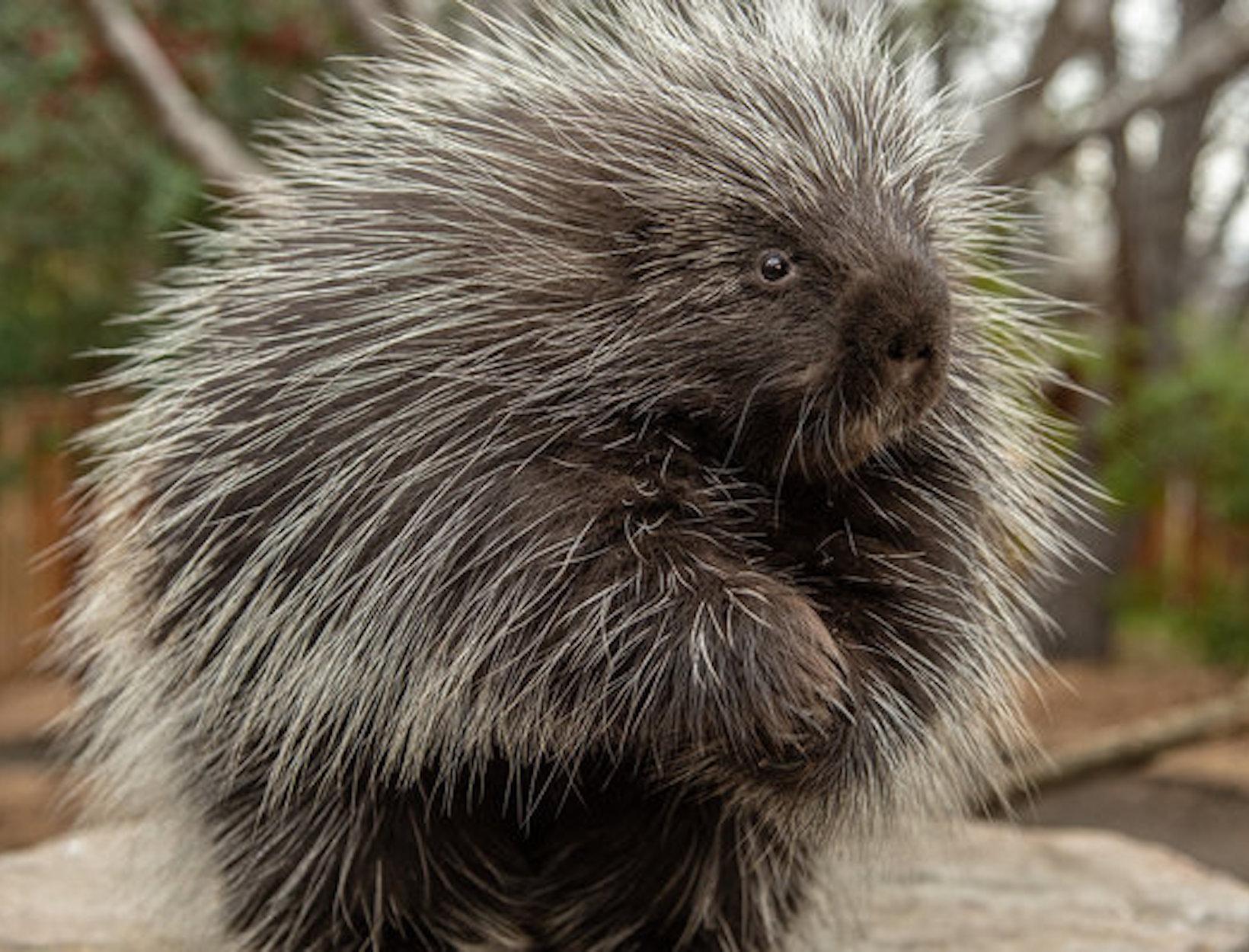 Porcupine Barbs for Better Wound Healing