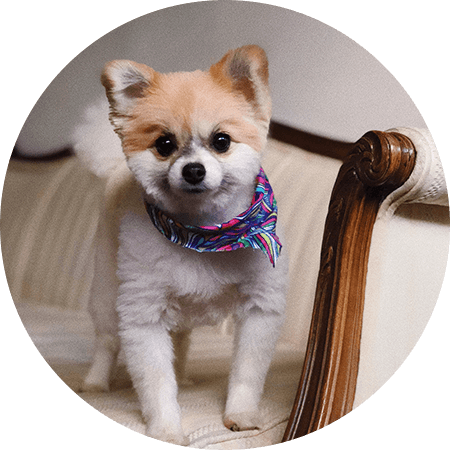 Ellie Pomeranian