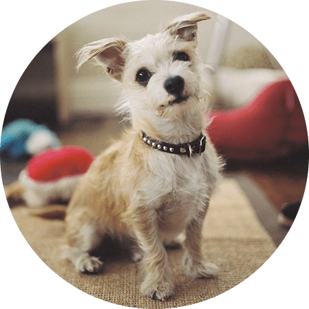 Spark terrier–Jack Russell mix