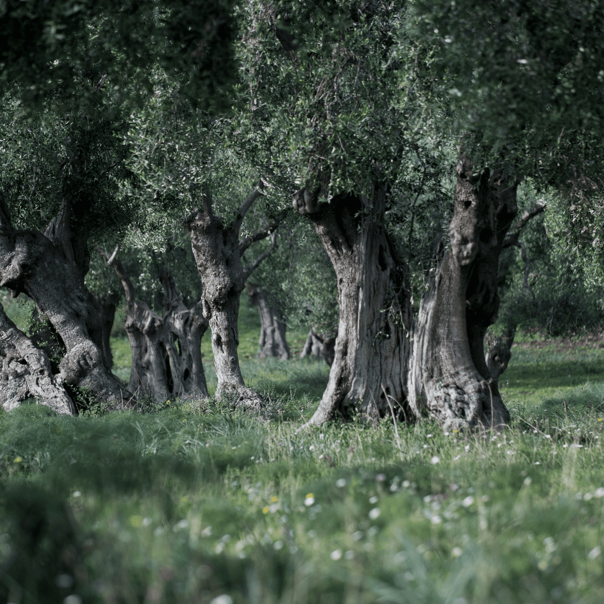 Especially Puglia Adopt an Olive Tree + Annual Subscription