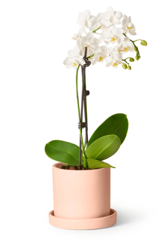 the sill petite white orchid