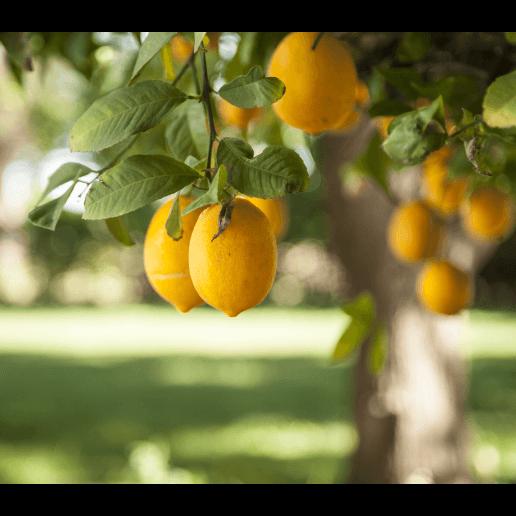 White Flower Farm Meyer Lemon Tree