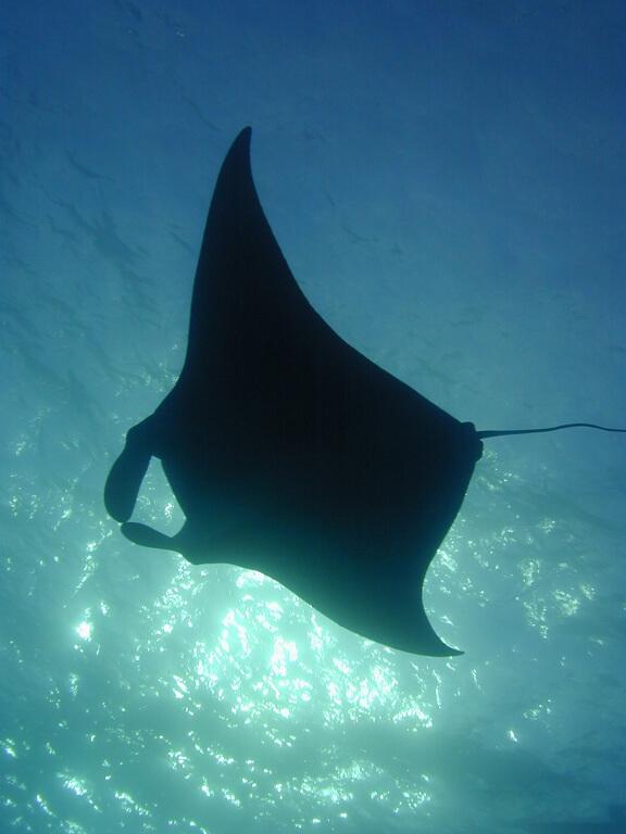 manta ray in the ocean