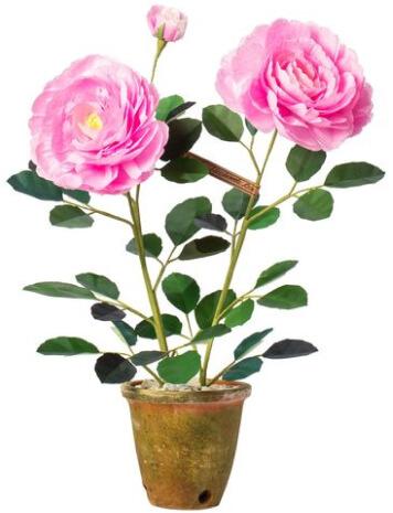 گیاه رز گلدان گلدان سبز